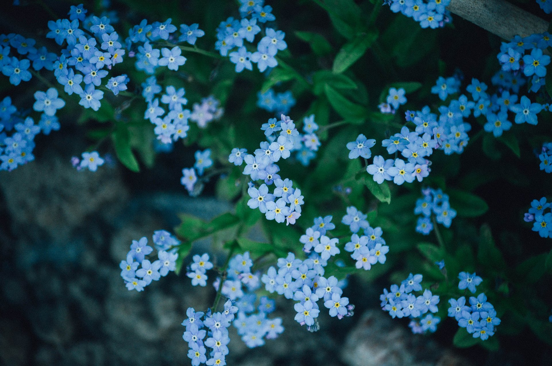 blue-star-flowers